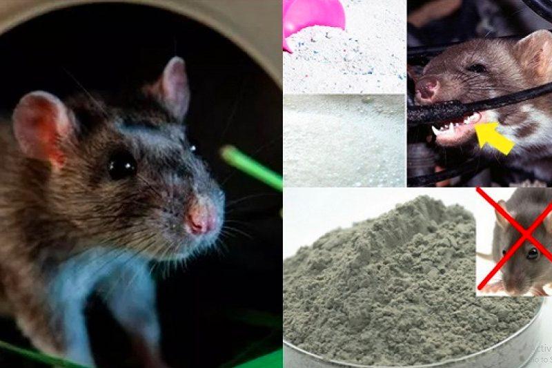 cách đuổi chuột ra khỏi phòng