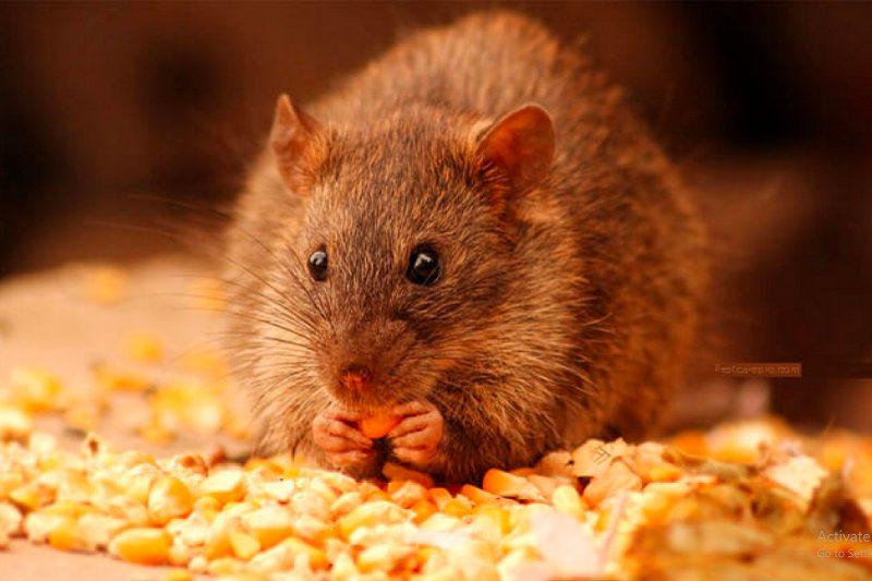 cách đuổi chuột khỏi phòng